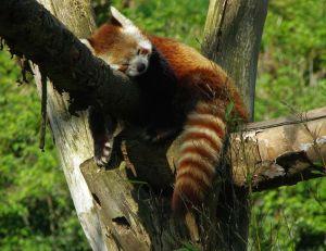 Panda roux du Zoo de Lille