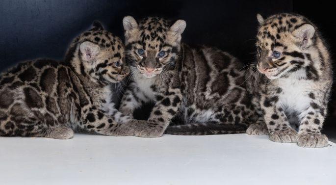 Les jeunes panthères nébuleuses du Zoo de Mulhouse