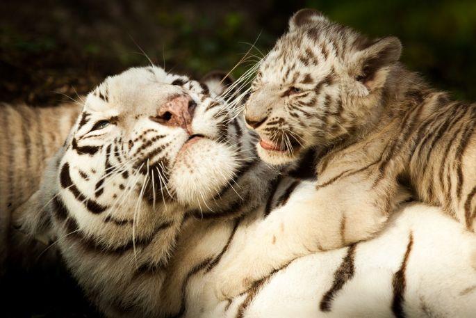 Les tigres blanc du Zoo de Pessac